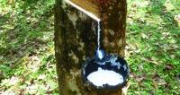 Získávání přírodního latexu je stále stejné  – kůra kaučukovníku  se nařeže, umístí se miska a pak již  jen stačí pravidelně chodit sbírat.